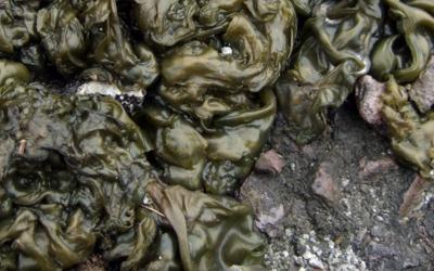 Nostoc Algae Problems?